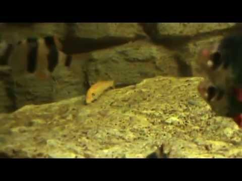 Бурые водоросли и водорослеед Гиринахейлус