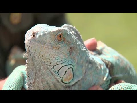 Mark - An abandoned family pet iguana sat in a tree for days before being rescued