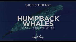 Humpback Whales Stock - STOCK FOOTAGE (RED Helium 8K)