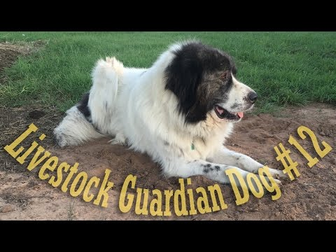 Livestock Guardian Dog Series - Shelter Design Error