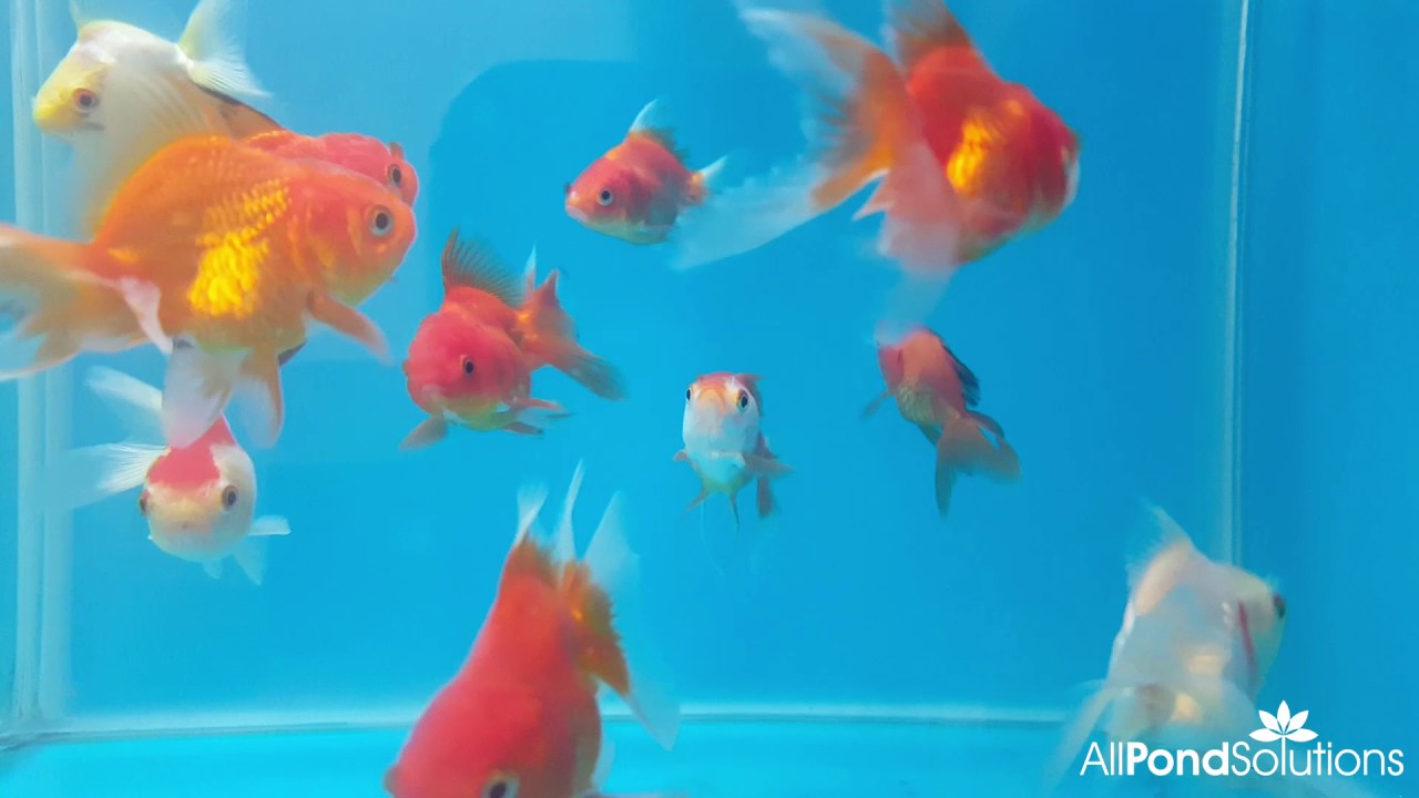 Lionhead Goldfish For Sale at All Pond Solutions