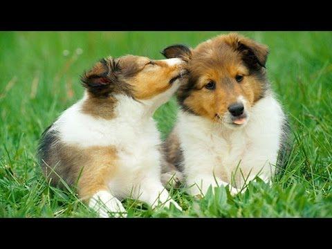 60 Seconds Of Cute Shetland Sheepdog Puppies!