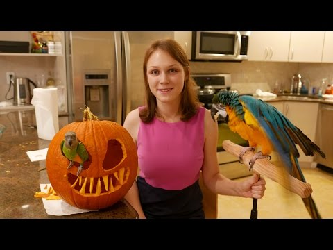 Rachel Blue & Gold Macaw – Pumpkin Carving