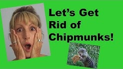 CHIPMUNK PROBLEM - HOW TO STOP CHIPMUNKS!