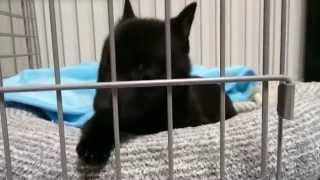 スキッパーキ「クー」の動画。飼い主「とーやん」の家に来た日と次の日...