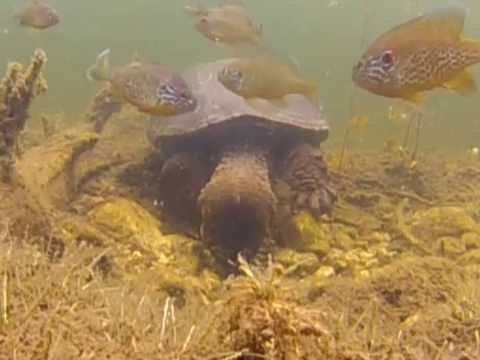 Snapping Turtle Raids Sunfish Nest for Larvae
