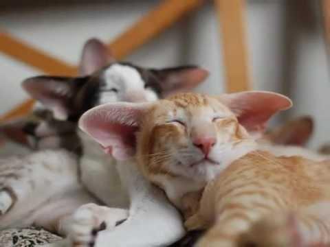 Ориентальные и сиамские котята. П-к EkstaSia.