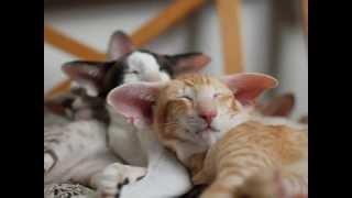 ориентальные и сиамские кошки питомника Jungle