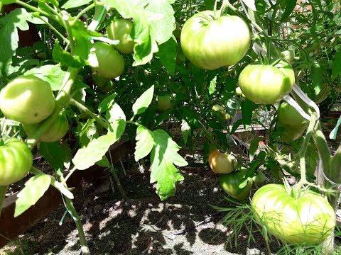 14 июня спеют крупные помидоры/ Томаты заболели! Кладоспориоз , чем опрыскиваю