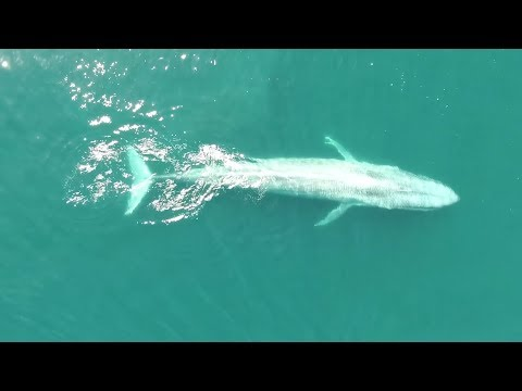 OSU researchers discover new population of blue whales