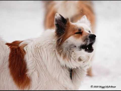 Все породы собак.Исландская собака(Icelandic Sheepdog)