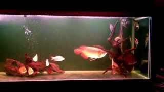 indigo super red arowana 35 cm community tank aquarium march 2013 150 gal
