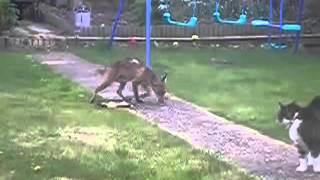 Храбрый кoт против лисы Brave cat against foxо