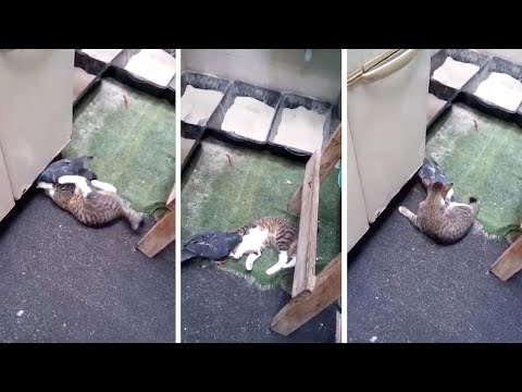 Cat And Pigeon Caught Playing Together