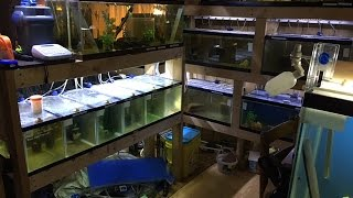 Hobbyist Fish Room Tours Over 40 Fish Tanks