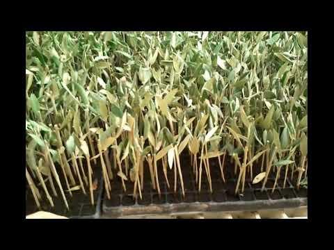Vivero de olivo estaquillado por nebulizaci n youtube for Viveros de olivos