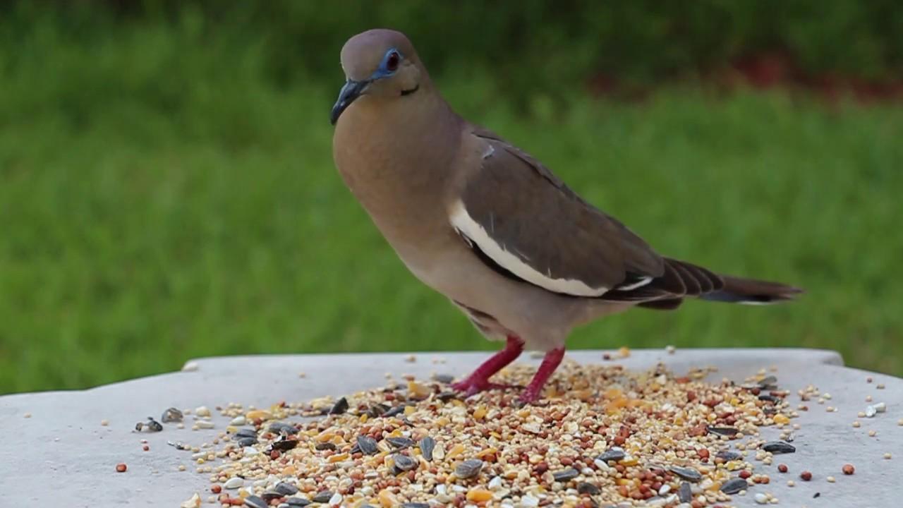 Texas backyard birds. - YouTube