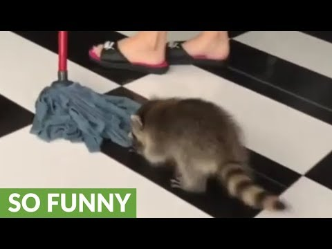 """Pet raccoon """"helps"""" with house cleaning"""