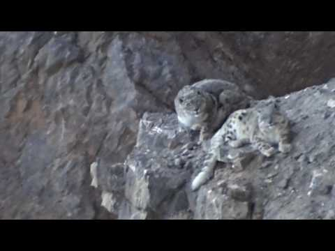 A New Year's Snow Leopard Encounter in India