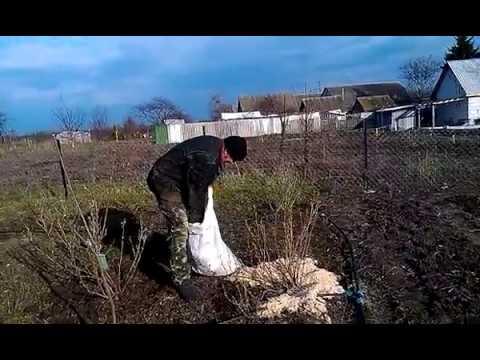 Мульчирование черной смородины весной