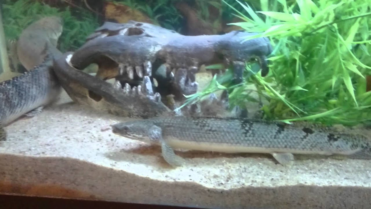 Baby arrowana baby clown knifefish and florida get for Clown knife fish