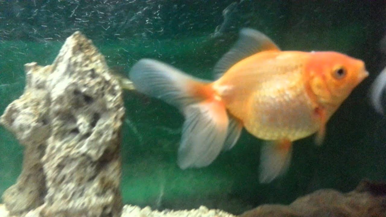 el cuidado del pez japones o goldfish youtube
