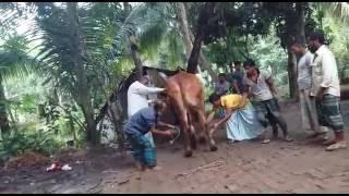কুরবানির গরু জবাই,,লাতু মুন্সির বাড়ীর,