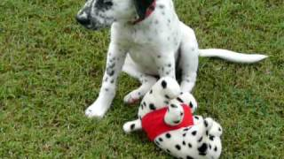 Ruby - Half Dalmatian, 100% Akita Fighting Dog!