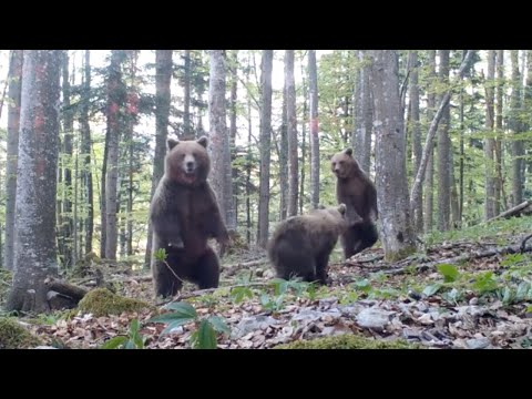 Mama Bears and Her Cubs Get Spooked