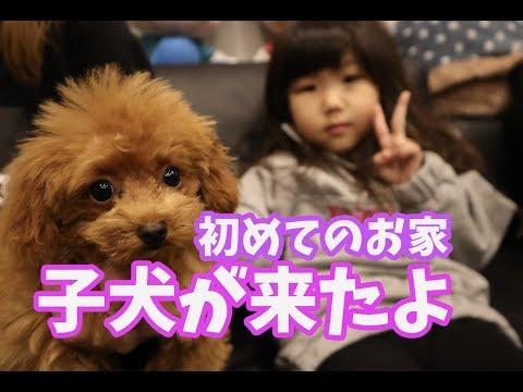 子犬が家族になりました!トイプードルのクルミちゃんとの生活スタート!!