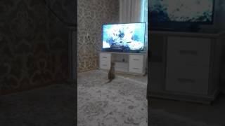 Моя кошка смотрит телевизор, её зовут Армиша😊