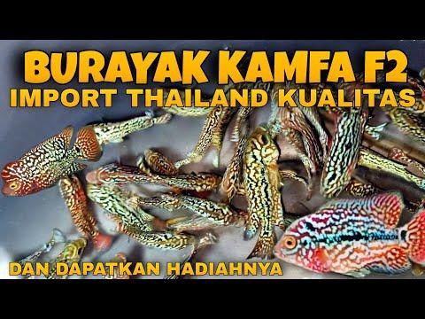 Spesial Burayak Kamfa F2 Import Thailand Kualitas Termurah Dan Berhadiah