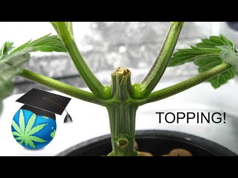 How To Top or FIM A Cannabis Plant - Topping Guide