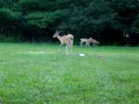 Deer in Bradford County Pennsylvania