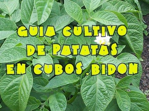 Cultivo de patatas papas en bidones cubos etc youtube for Como cultivar patatas