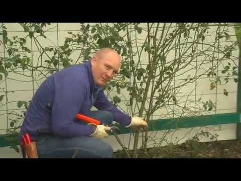 How to prune your climbing rose