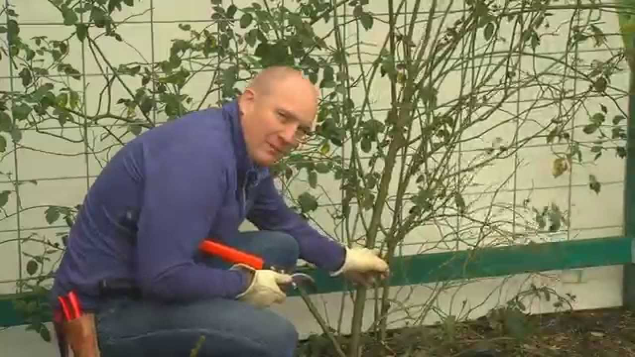 How To Prune Your Climbing Rose Youtube