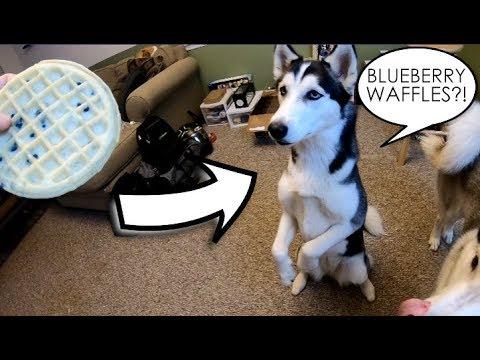 Siberian Husky LOVES Blueberry Waffles!