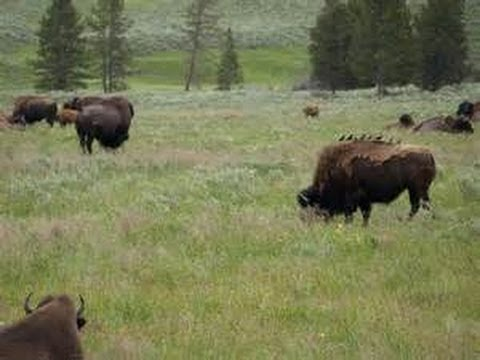 BREAK THIS NEWS : Who Will Get Yellowstone Bison?
