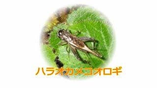 鳴き虫 ハラオカメコオロギ①