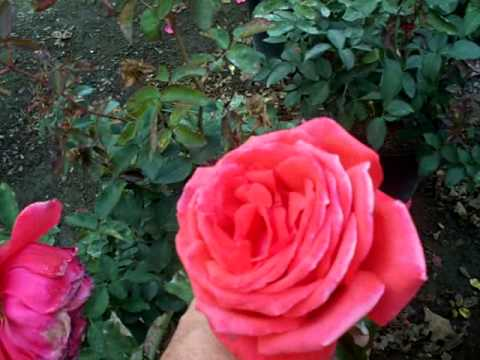 rose fragrant cloud.mov, Natural flower