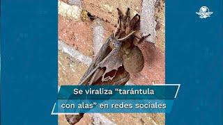 """¿Qué se sabe de las """"tarántulas con alas"""" que causan terror en EU y México?"""