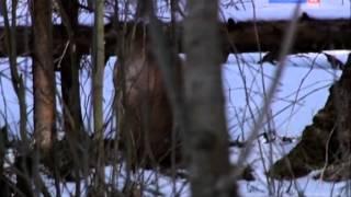 Рейтинг Баженова самые опасные животные России часть11