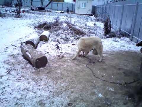 собака не узнает свою лапу ))