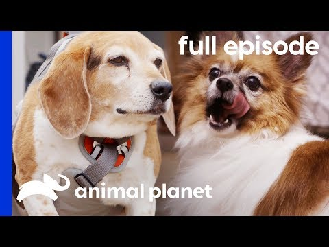 These Overweight Pups Need to Lose Weight! | My Big Fat Pet Makeover (Full Episode)