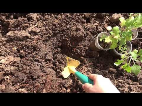 Посадка хризантем ( выращенных из семян ) в грунт