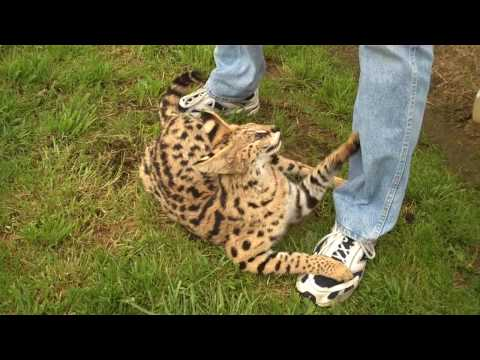 Serval cat - a tame wildcat who acted like a domestic cat