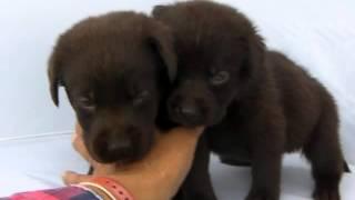 ラブラドールレトリバー子犬!!<子犬の利根リバーサイド・http://www....