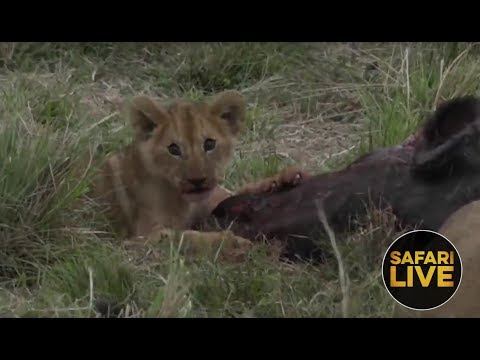 safariLIVE - Sunset Safari - December 7, 2018