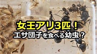 女王アリ3匹! 肉団子を食べる幼虫!?クロナガアリ【アリ日記】
